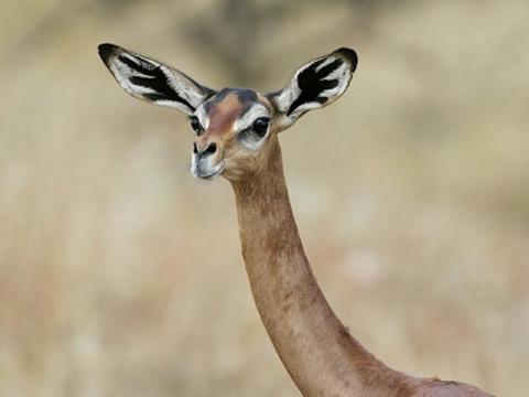 El Gerenuk o la gacela jirafa