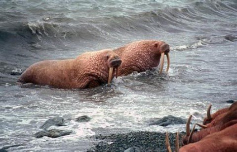 morsas-alaska-artico.jpg