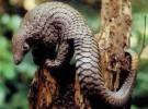 Misterios de la naturaleza: el pangolín