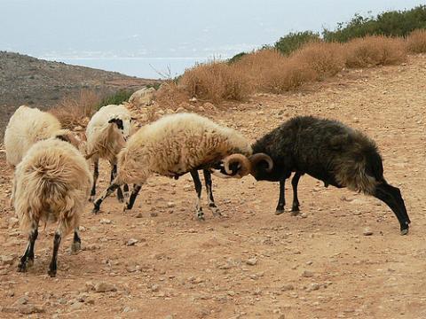 peleas de carneros