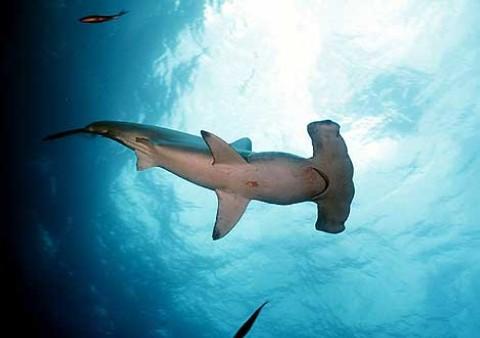 Tiburón martillo. Santuario de Tiburones