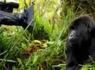 Falleció Titus, el rey de los gorilas