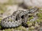 En Macedonia cazan serpientes por su veneno