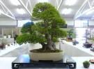Los bonsai, esos pequeños grandes árboles (II)