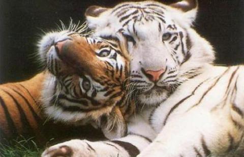 tigresdebengalablancoynormal