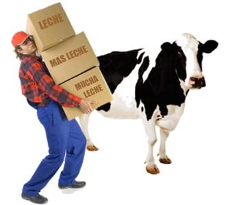Las vacas que reciben cariño producen más leche