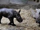 Un rinoceronte de probeta