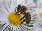 Las abejas: excelentes voladoras