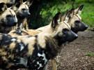 Licaones – perros salvajes