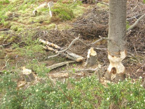castor tronco