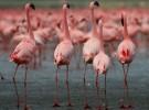 Los flamencos: largos cuellos, largas patas