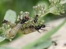 Hormigas, el vuelo nupcial