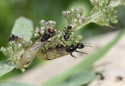 Agricultura sostenible a manos de las hormigas