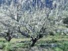 Plantas de frutos comestibles (V): El cerezo
