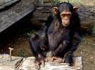 Los chimpacés sufren el luto