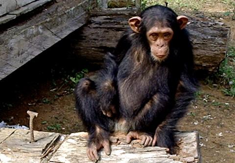 Los chimpancés sufren el luto