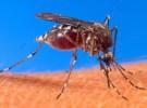 Mosquito del dengue hereda la resistencia al repelente