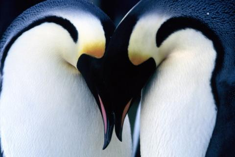 pareja-de-pinguinos-emperador.jpg
