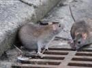 Las ratas encabezan el ranking de plagas en Europa