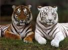 De 10 tigres a 4000