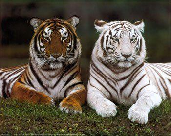 De 10 tigres a 4 mil
