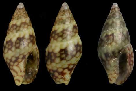 Mudanza del caracol del Atlántico tropical al Mediterráneo