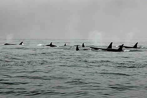 Orcas abuelas protegen sus familias