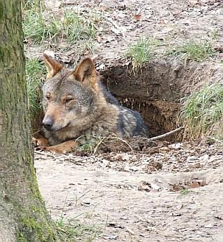 Regreso del lobo ibérico tras 40 años a Madrid