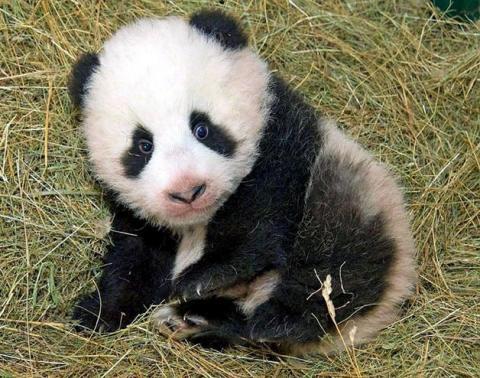 oso-panda-baby