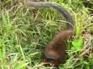 Nueva especie de mono tití en el Amazonas colombiano