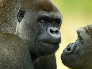 gorilas_pilla