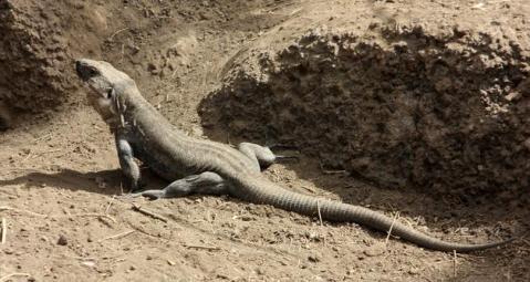 lagarto-gigante-elhierro