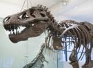 Tyrannosaurus rex sería caníbal