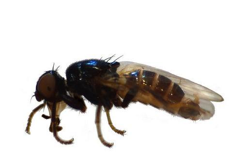 Prochyliza nigricornis