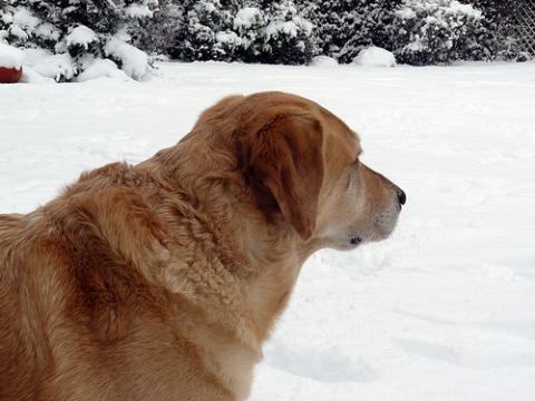 perro nuieve
