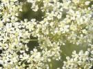Plantas toxicas (II)