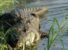 Relación entre el Sida y la sangre del cocodrilo