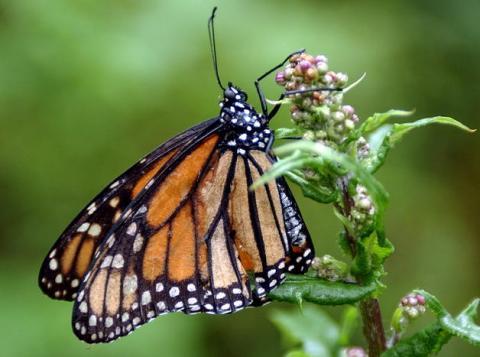 Mejora parcial de la población de mariposas monarca