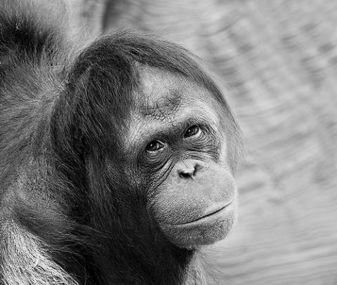 Somos muy parecidos a los orangutanes
