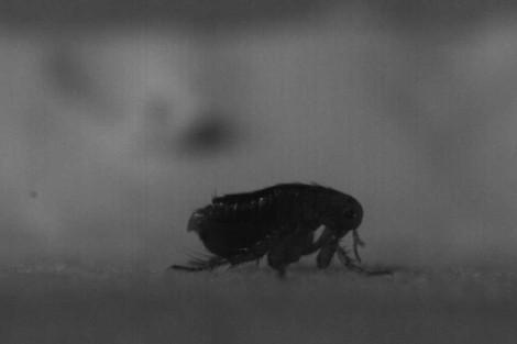 El gran salto de la pulga