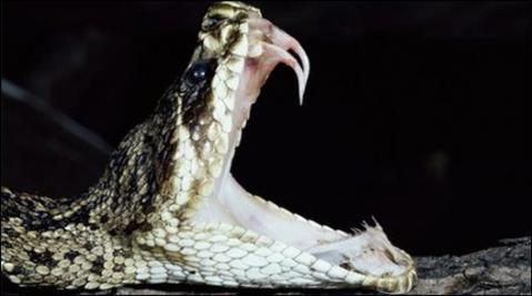 Incrementa el número de mordeduras por serpientes