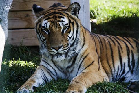 A una tigresa se le implanto una protesis articular