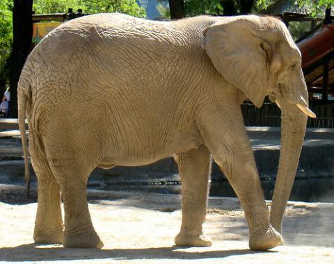 Los elefantes se miran al espejo