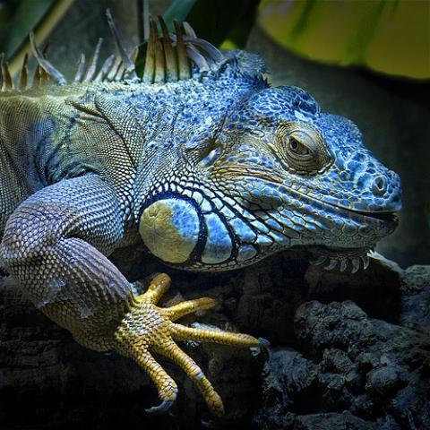 La iguana azul está en peligro de extinción