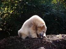 Murió el Oso Polar Knut (Berlín)