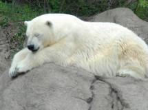 La caza de osos blancos prohibida en Rusia
