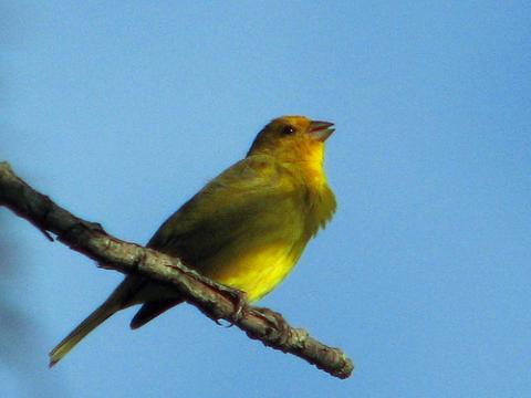 Los pájaros cantan cada vez más fuertes