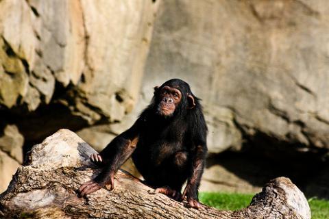 Los chimpancés y la muerte