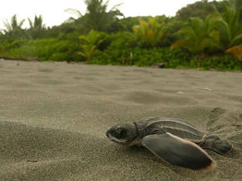Tortuga laud (Dermochelys coriacea)