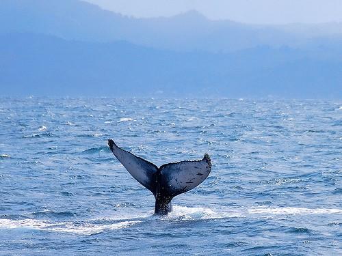 las ballenas estan en peligro